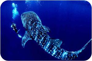 Shark Point Day Trip - whall shark