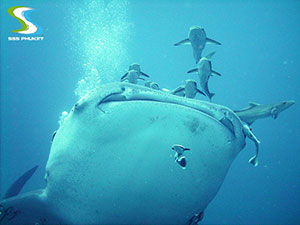 phuket scuba diving King Cruiser Wreck - whale shark