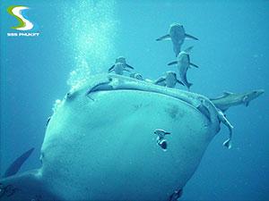 plongée à Phuket King Cruiser Wreck - whale shark