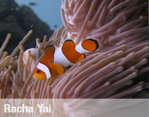 racha yaui