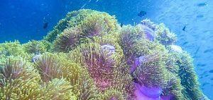 plongée à Phuket anemone-reef