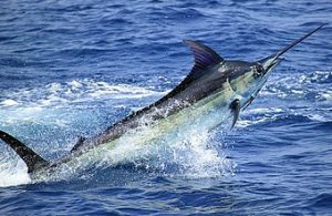 plongée à Phuket racha yai marlin-bleu