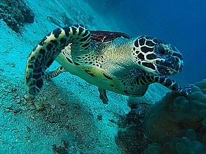 plongée à Phuket tortue