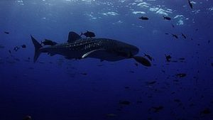 plongée à Phuket koh-racha-noi requin-baleine