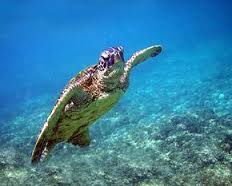 sea turtles thailand Scuba Diving Kata Beach